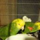 Top Amazon Parrot Pet Birds Species Available