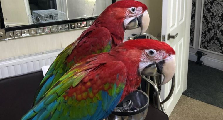 Dna Tested Greenwings Macaw Parrots Ready
