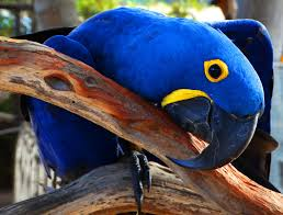 Hyacinth Macaw for Sale | Parrots for Sale Near Me