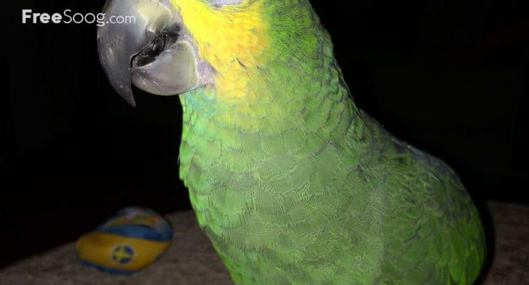 Cuddly tame baby Palm cockatoos and African greys for sale
