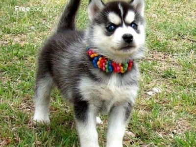 Husky for sale in UAE Dubai (Siberian Husky Puppies)