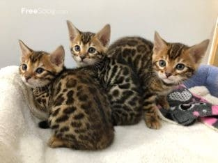 Bengal Kittens Available for sale