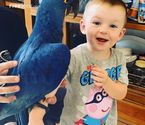 Super tame Blue Macaw parrot Babies Available