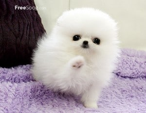 Beautiful Teacup male and female Pomeranian Puppie