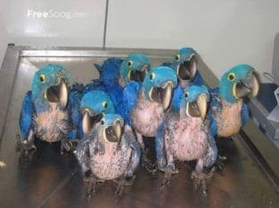Parrots Eggs for Sale