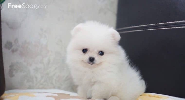 Pomeranian Puppies White